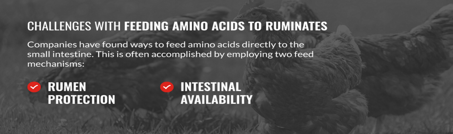Challenges with Feeding Amino Acids to Ruminants
