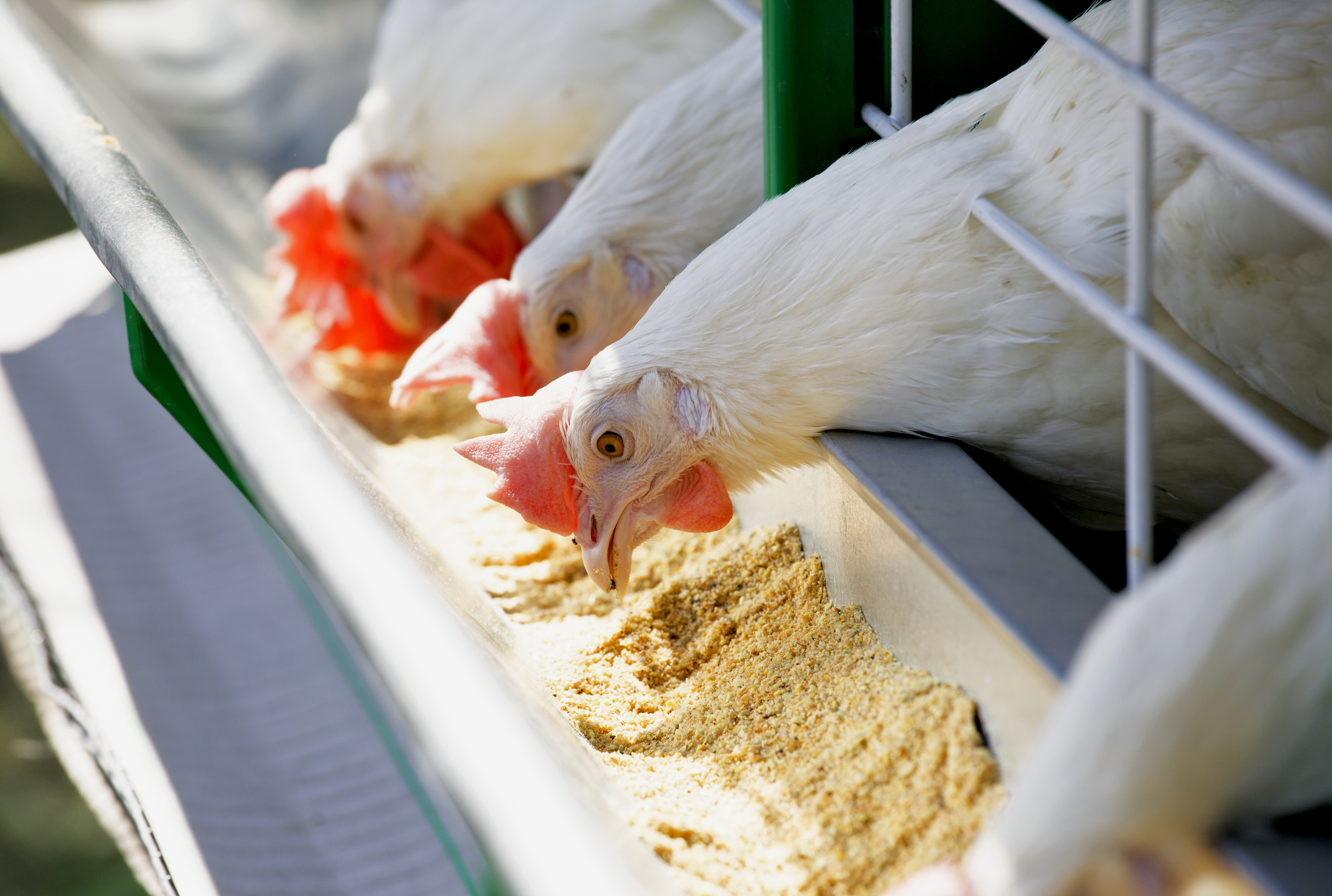 Poultry Feed Quality Resources | Animal Feed Quality Solutions